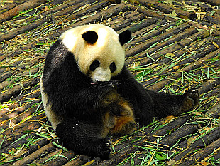 symbol of Chengdu - Giant Panda in reservation near Chengdu