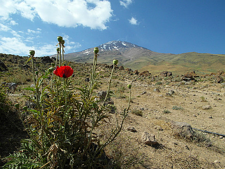 flowering poppy at 3000m and Damavand in the back