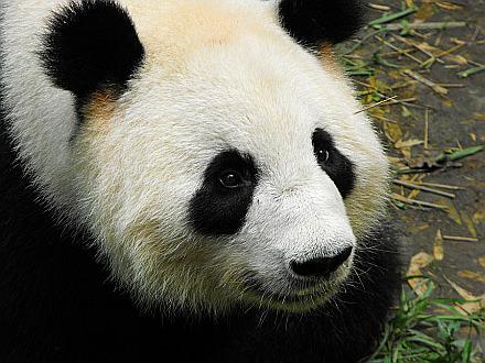 Panda bear found!