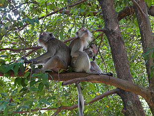 Monkeys of Kuala Lumpur parks