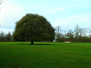 Greenwich Park tree