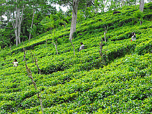 tea plantage in Matugama
