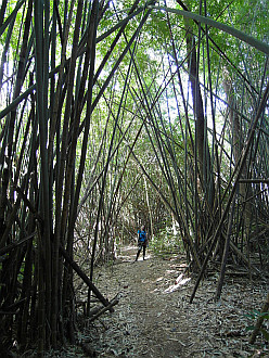 walking through the bamboo jungle
